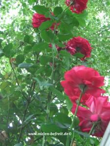rosenbusch, fantasiereise, wahrnehmungsübung, imagination